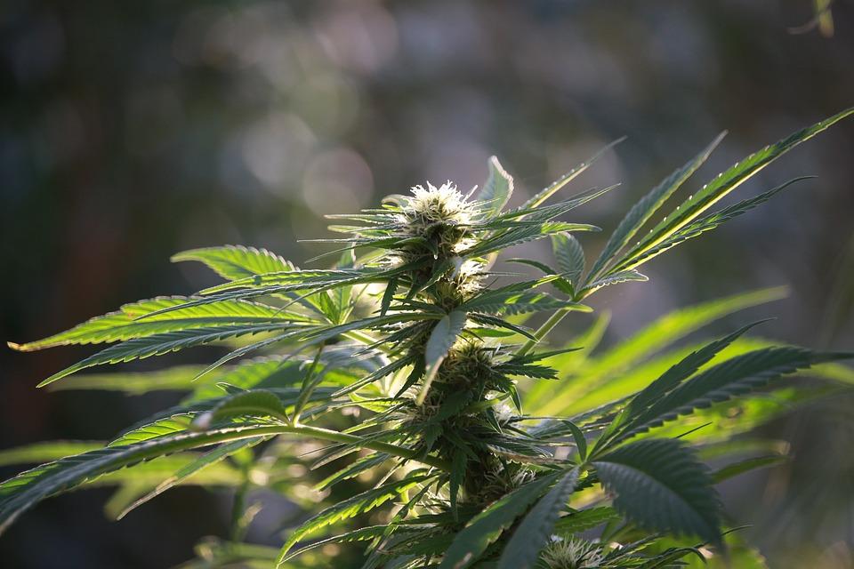 marijuana and life insurance